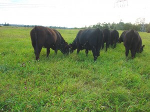 Yearlings on Summer Pasture at Matheson Farms