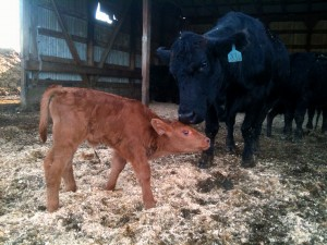 Catie and her 2012 heifer baby