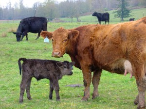 Tula and heifer calf, Spring 2012
