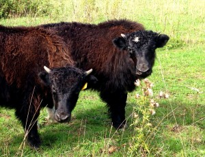 Two of the 2015 Yak Calves