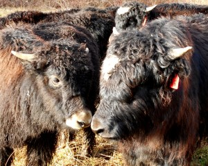 Yak babies enjoying each other's company.