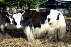 Yak cow of the Royal pattern