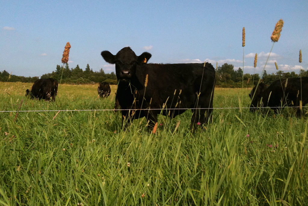Cattle on summer grass at Matheson Farms Bellingham, WA